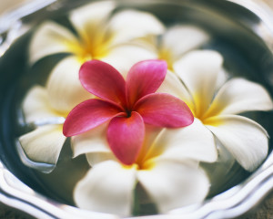 ca. 2002 --- Frangipani Flowers in Bowl of Water --- Image by © Royalty-Free/Corbis